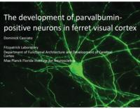 The development of parvalbumin-positive neurons in ferret visual cortex