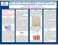 Adult neural stem cell proliferation is not altered in trans-genic mice overexpressing BDNF or mutant HTT in forebrain